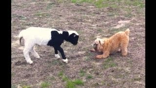 Brussels Griffon Dog Plays Tag With A Dorper Lamb - Miyow & Barkley