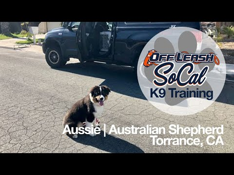 Aussie | Australian Shepherd | Torrance, CA