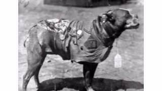The Bravest Pitt Bull