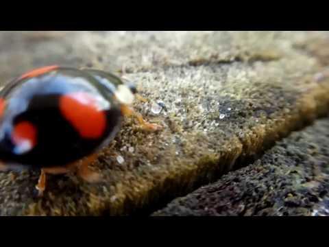 БОЖЬЯ КОРОВКА: Черная с красными пятнами, видео макросъемка 2017