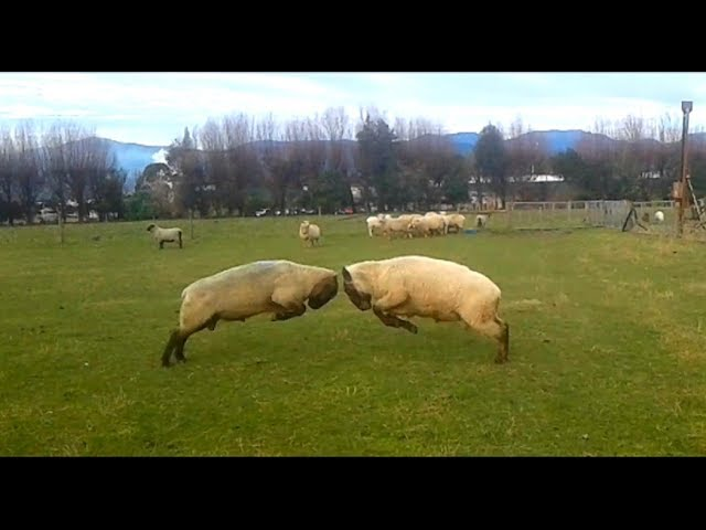 Angry Ram fight club