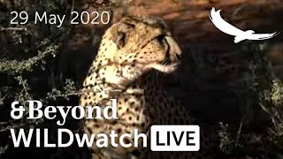 WILDwatch Live | 29 May, 2020 | Afternoon Safari | Ngala Private Game Reserve