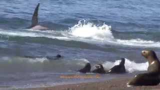 Killer whales attacks! Attaques par des orques!
