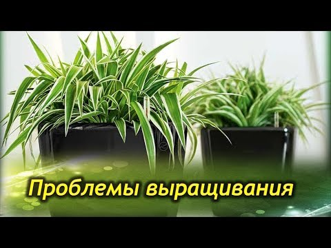 ХЛОРОФИТУМ. Cохнут или чернеют кончики листьев. Проблемы выращивания, болезни и вредители.