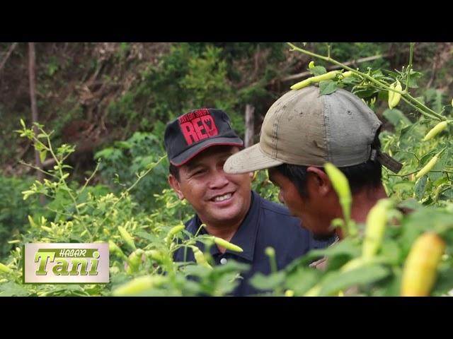 Habar Tani Episode 2 -  Penanganan Penyakit Pada Cabe Segmen 3 #TV Tabalong