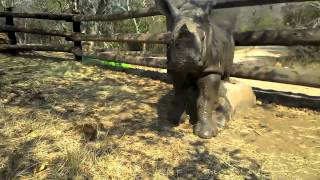 Baby rhino Gertjie playing in the mud