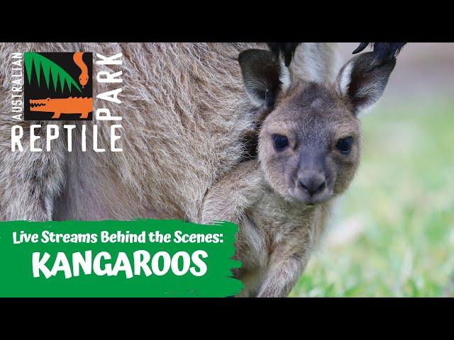 MEET OUR KANGAROO MOB (LIVE FOOTAGE) | AUSTRALIAN REPTILE PARK