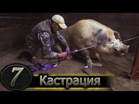 ХРЯК НА 300 КГ / КАСТРИРУЮ В ОДНОГО