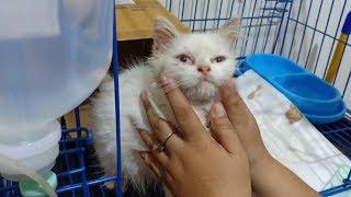 Untuk pengetahuan korang yang suka kucing.., Salah satu penyakit kucing adalah Gila Babi ( Epilepsi,.