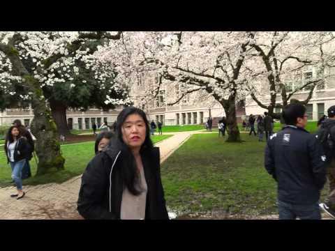 Cherry Blossom UW campus Washington