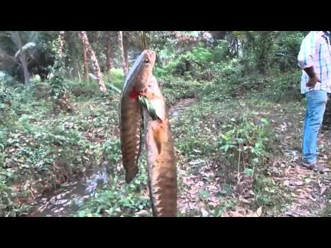 kerala natural fishing - Snake head catching - part 50