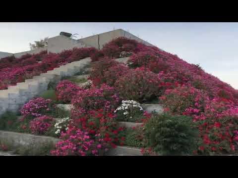 مزرعة الورد الطائفي في ابها ٦٠الف شتلة شيء مذهل