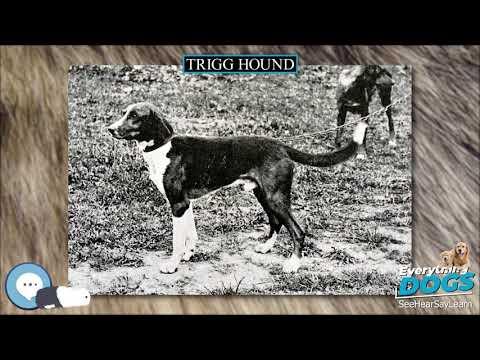 Trigg Hound 🐶🐾 Everything Dog Breeds 🐾🐶