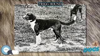 Trigg Hound  Everything Dog Breeds