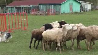 Shetland Sheepdog  HIPHOP KLIMSVEVIK, herding sheep