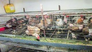 Содержание кур несушек в клетках в домашних условиях как часто обслуживать - zolotyeruki