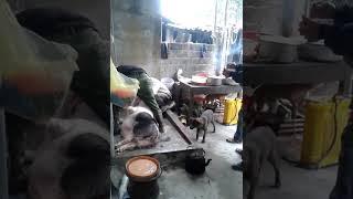 Làm thịt lợn ăn tết