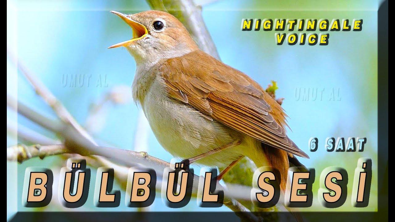ARAP BÜLBÜLÜ SESİ VOL1 (Kuşlar bu sese çıldıracak) 2020 YENİİİİ #arapbülbülü #kuşsesi #doğa #trap