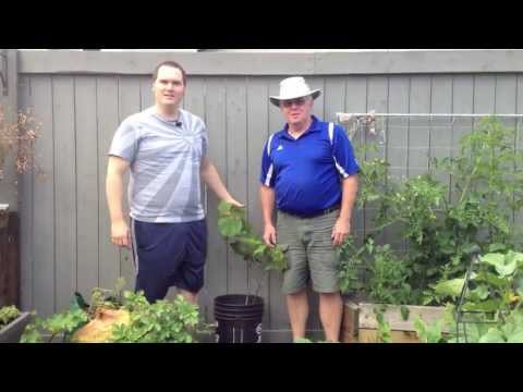 How to Plant Cold Hardy Concord Grapes in the Alberta Urban Garden