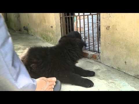 Becgie Đen Lông Dài Trại chó Trần Gia 0904160476