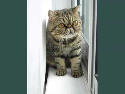 Exotic Shorthair Munchkin | Picture Ideas Of Cats