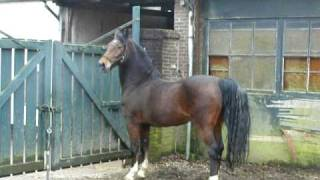 At last hackney horse William on the move again..