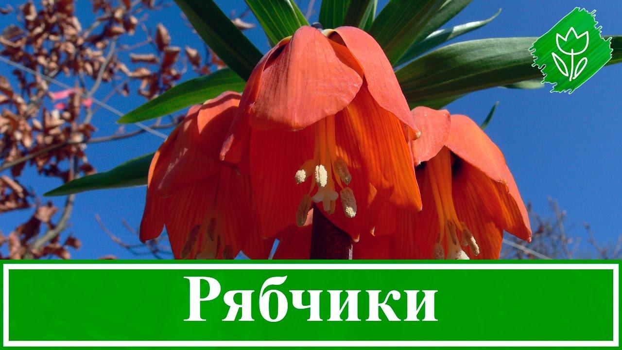 рябчик цветы фото