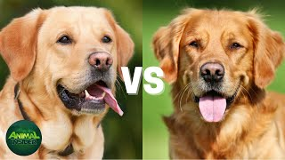 Labrador Retriever VS  Golden Retriever Comparison  Which Breed is Best for You?