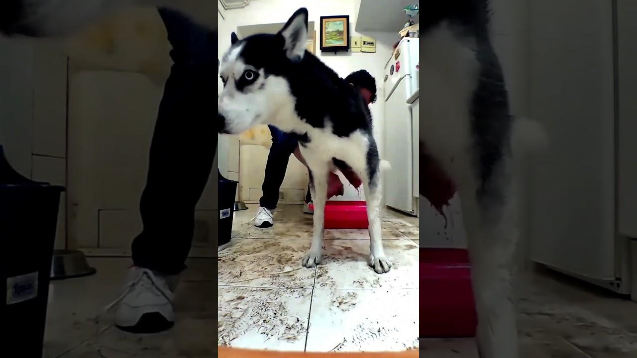 No me quiero bañar !!  😭🤣🐶 #shorts #husky