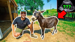 Finding Out if My PET MINI DONKEY is PREGNANT!!! (Vet Gives Ultrasound)