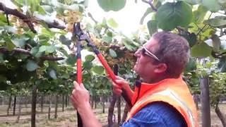 Male Pruning Kiwifruit vine