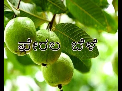 High Density Guava Plantation