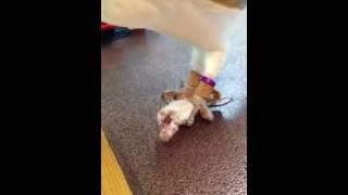 生後1年3ヶ月 マウスが大好物です 恩返しもしてくれます 恩返し動画は ...