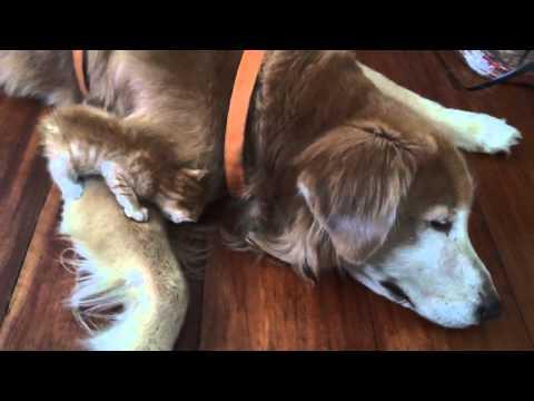 Wielki pies pokochał opuszczone kociątko