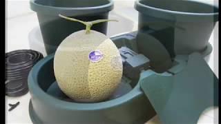 Autopot Mask Melon 水耕日本網紋洋香瓜栽培