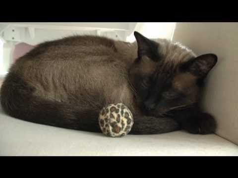 Zeus Gefährliche Katze Kater Siamkatze Faule Katze Spielt