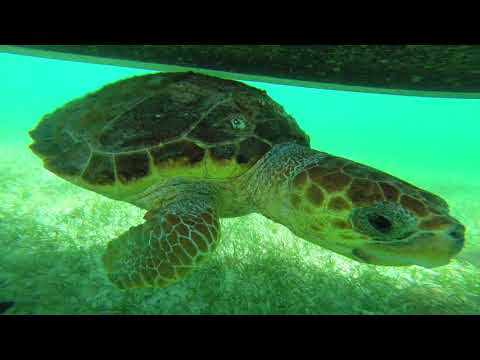 Swimming with Sea Turtles - Belize It 2018