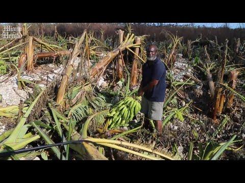 A Bahamian banana