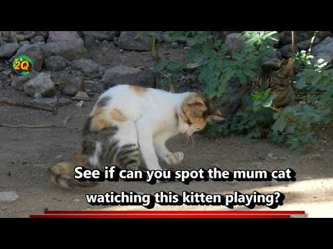 Somaliland cats - Amazingly mum cat watches her kitten while in playful