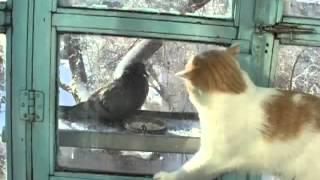 голубь и кот pigeon and cat