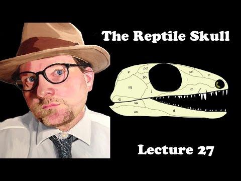 Lecture 27 The Reptile Skull