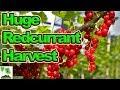 HUGE Harvest Of Red Currants