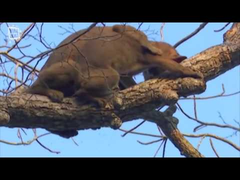 Fossa Fouche Make Love On The Tree !(new)