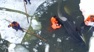 People Jump Onto Sheets Of Ice To Save Trapped Orcas