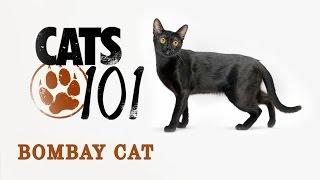 Бомбейская кошка - Bombay cat