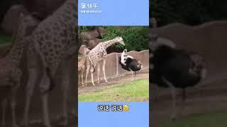 欺负小长颈鹿的鸵鸟