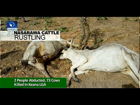 Suspected Cattle Rustlers Kill 73 Cows In Nasarawa |News Across Nigeria|