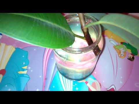 Размножение фикуса каучуконосного черенками