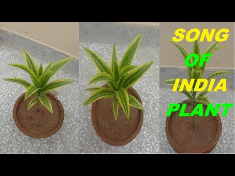 How To Grow And Care Of Dracaena Reflexa (Song Of India) Plant Indoor Plant