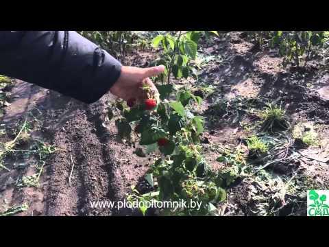 Обзор малины 15 сортов, период цветения